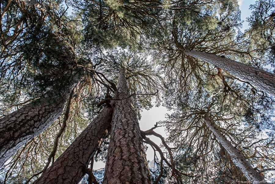 Calabria - Scorcio del bosco dei Giganti di Fallistro - Ph. © Ferruccio Cornicello  | Photogallery a fondo pagina