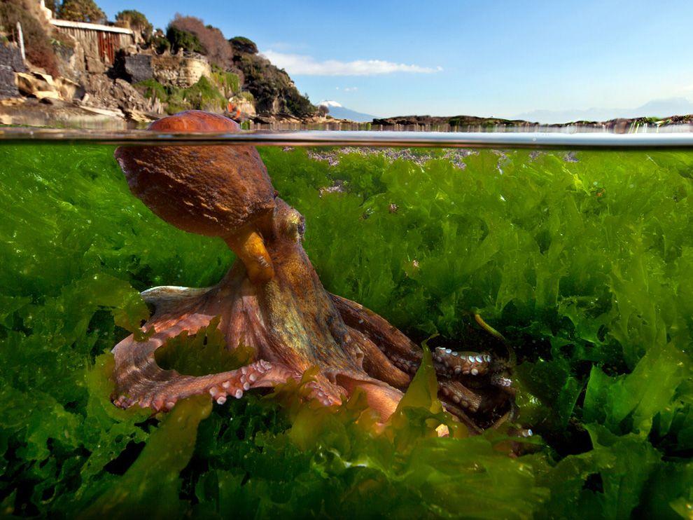 octopus-vesuvius_44717_990x742