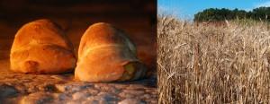 Salviamo il grano del miglior pane d'Italia, la pagnotta di Altamura. Il Parco dell'alta Murgia lancia SOS e organizza il Festival della Ruralità