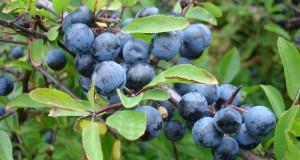 Eccezionale scoperta medica: il Prunus spinosa trigno, diffuso in Molise, rivela un importante effetto antitumorale
