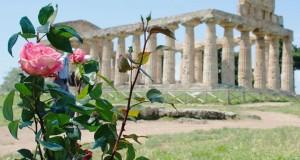 Tornano a fiorire le rose di Paestum