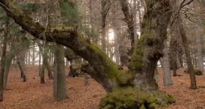 I segreti del bosco vecchio. Viaggio nella poetica bellezza dei Giganti di Cozzo del Pesco