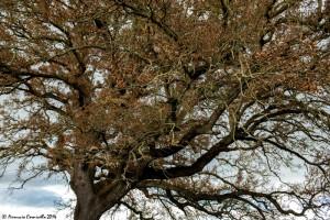 Esemplare di fragno (Quercus trojana) a San Basilio, Mottola (Taranto) – Ph. © Ferruccio Cornicello