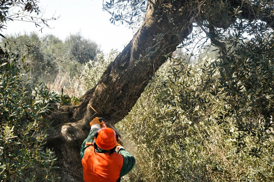 Puglia - Gli ulivi monumentali del Salento cadono sotto i colpi inesorabili delle motoseghe della Forestale - Ph. Valerio Saracino - FdS: courtesy dell'Autore