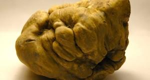 Trovato in Molise il tartufo bianco più grande del mondo
