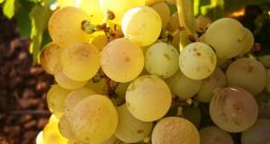 Storia del Grillo. Sull'isola di Mozia il vino dei Fenici profuma di mare