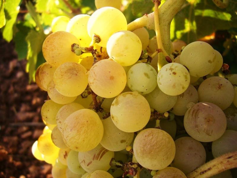 storia del vino in Italia risalente ai Fenici incontri per sordi