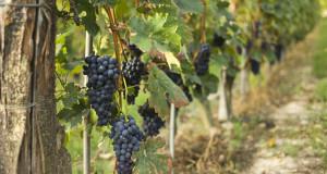 Il molisano Tintilia fra i migliori vini d'Italia secondo VITAE, la Guida Vini 2015 pubblicata dall'AIS