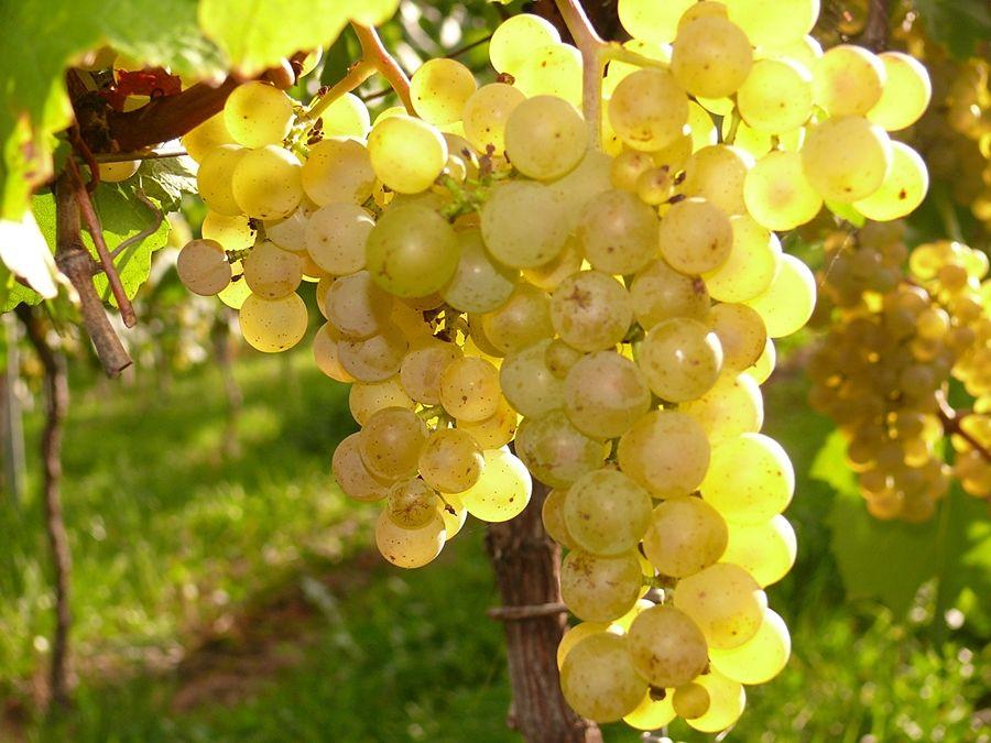 vitigno_bianco_opt
